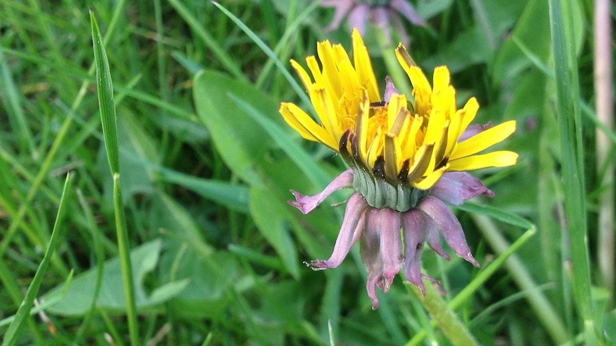 Maskros med både gula och lila blad