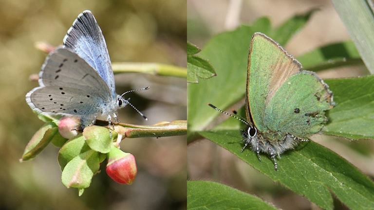 Ett collage med två ganska små dagfjärilar, till vänster en ljusblå, till höger en grön. Tosteblåvinge och grönsnabbvinge.