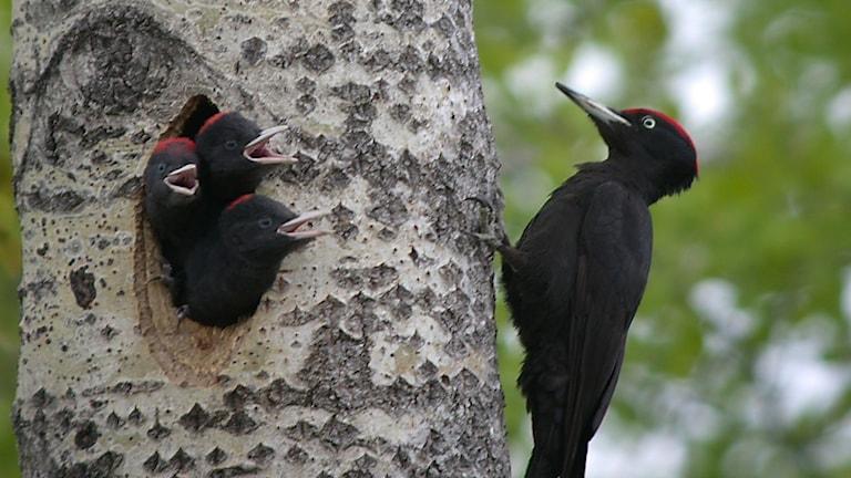 En stor svart hackspett sitter utanför ett bohål i en grov aspstam. Tre mattiggand ungar sticker ut huvudena ur boet.