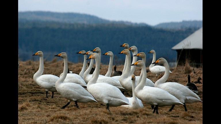 En flock stolta sångsvanar vid sjön Tysslingens strand.