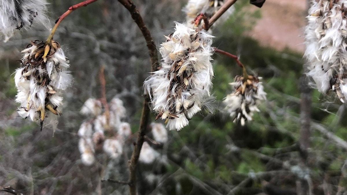 tussigt hänge på en buske
