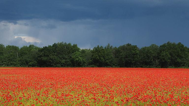 Mörka moln över ett intensivt rött fält av blommande vallmo.