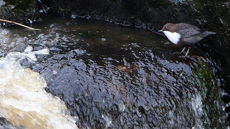 En svart, brun och vit liten fågel står på en sten vid en fors
