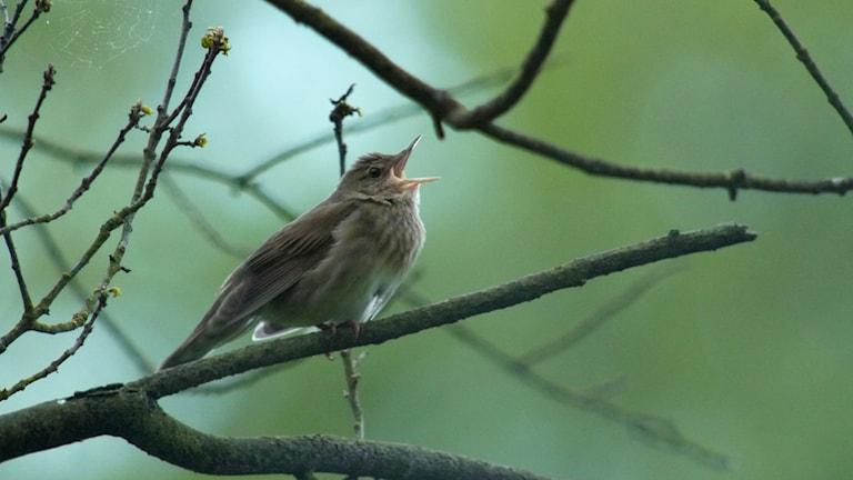 Brun småfågel sitter och sjunger på en gren. Flodsångare, Locustella fluviatilis