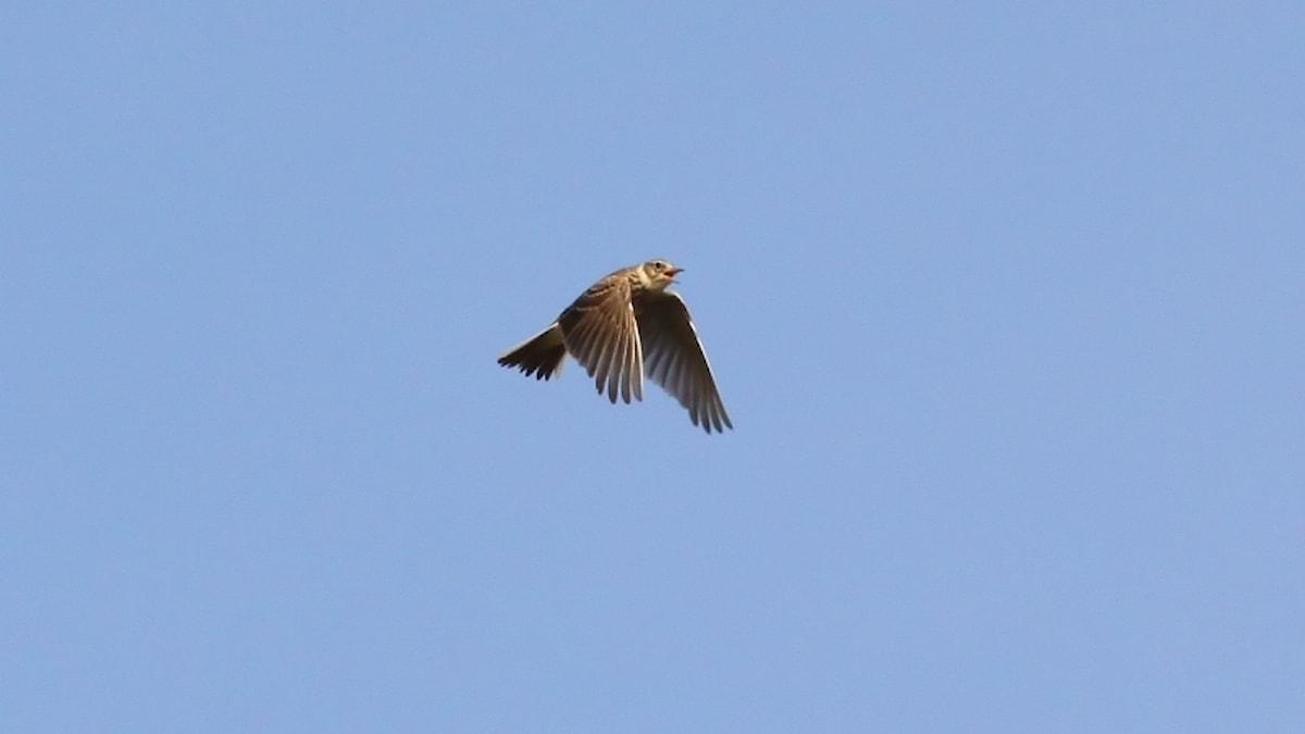 En flygande fågel med näbben på vid gavel, sjungande.