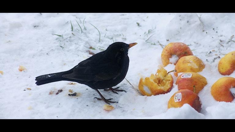 Koltrast kalasar på äpplen. Lyssnarfoto: Patrik Magnusson.