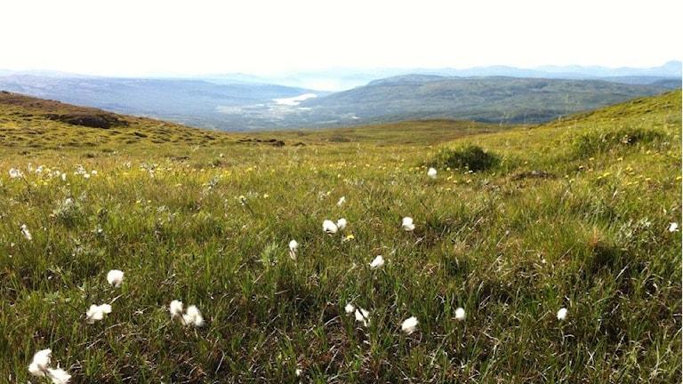 Vidsträckt vy över grönt fjällandskap, vita blommor, möjligtvis tuvull. Foto: Lasse Willén / Sveriges Radio.