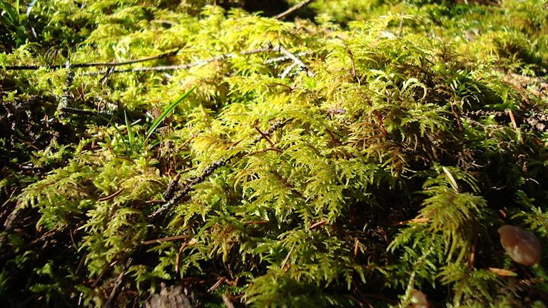 Husmossa, eller Hylocomium splendens, eller våningsmossa. Så kallar vi den här i Sverige. Men kanske heter mossan något helt annat för en brunbjörn? Foto: Wikimedia commons.