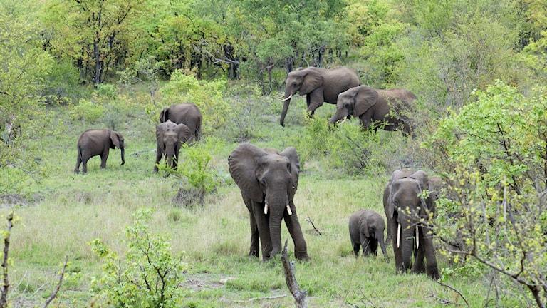 Elefanterna lever i grupper som leds av en matriark. Foto Lisa Henkow / Sveriges Radio.