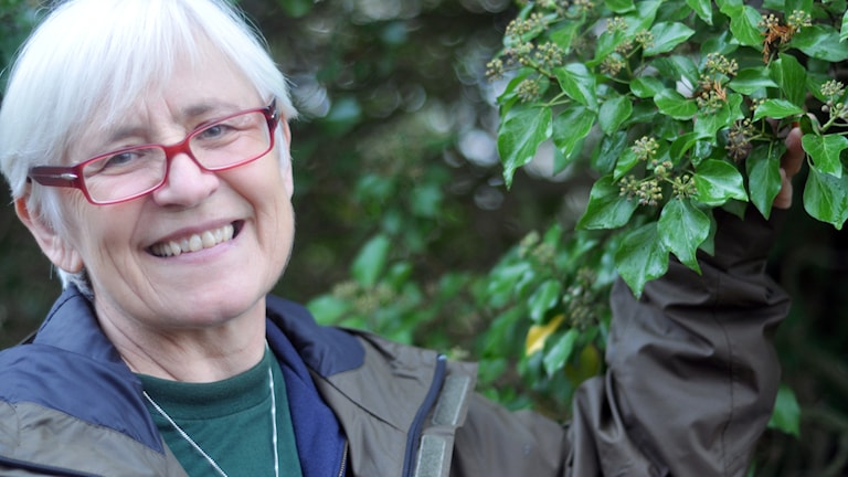 Marie Widén, föreståndare emerita vid Lunds universitets botaniska trädgård, och den livskraftiga murgrönan som växer på en sumpcypress i nämnda trädgård. Foto: Helena Söderlundh/Sveriges Radio