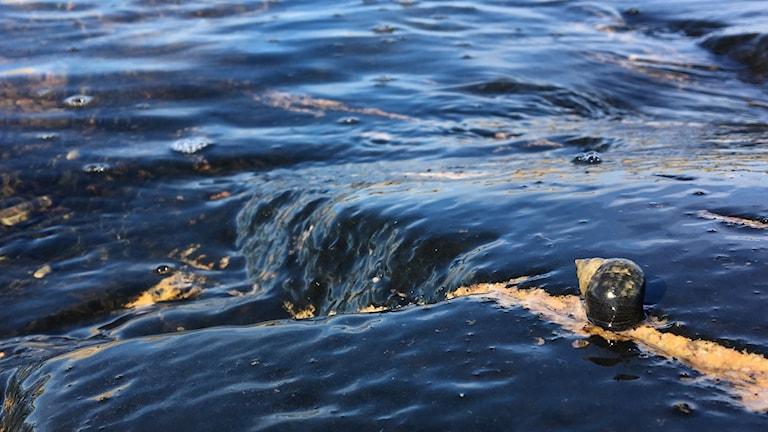 Den vivipara strandsnäckan betar just där havet sköljer över klipporna.