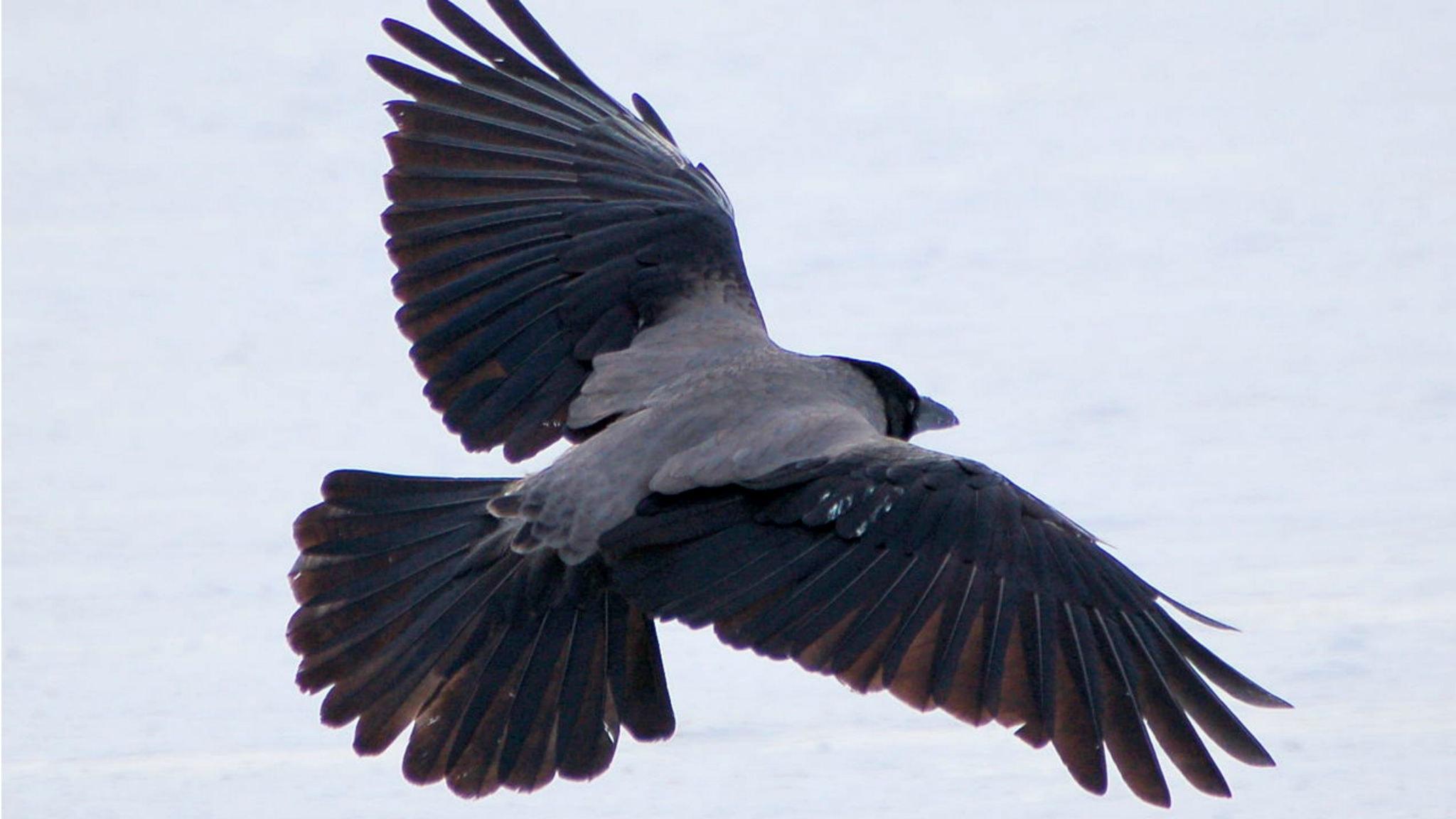 kråka fågel