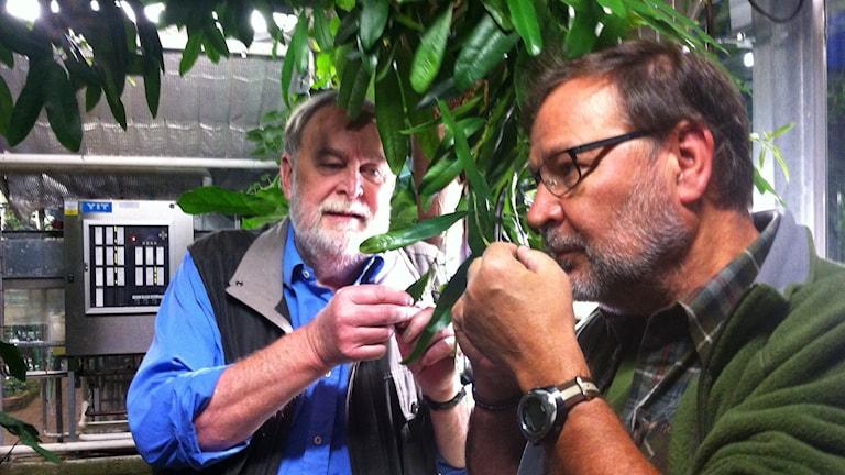 Lennart Engstrand och Lasse Willén vid kryddpepparträdet i Lunds universitets botaniska trädgård. Foto: Helena Söderlundh/Sveriges Radio