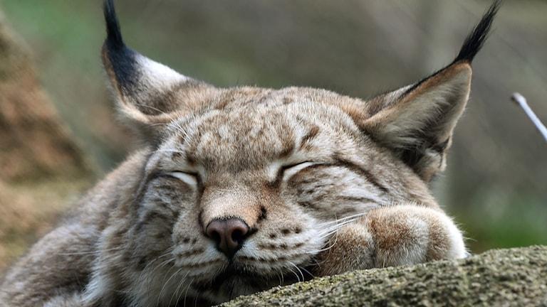 Så gott. Men när och varför uppkom sömnen i evolutionens historia? Foto: Holger Holleman, TT Nyhetsbyrån. Bildnummer: szf7c436