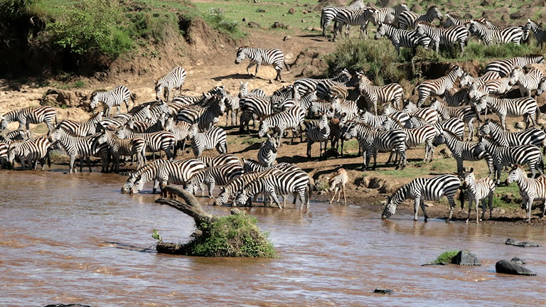 Zebror laddar för att korsa Marafloden. Foto: Lena Näslund.