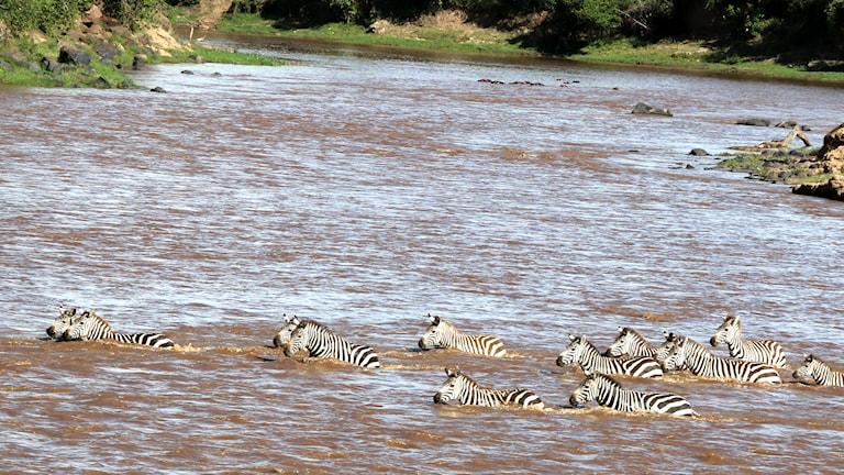 Zebrorna simmar över Marafloden. Foto: Lena Näslund.