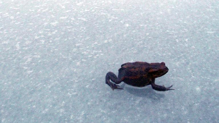 En padda på hal is. Lyssnarfoto: Per Sonnvik.