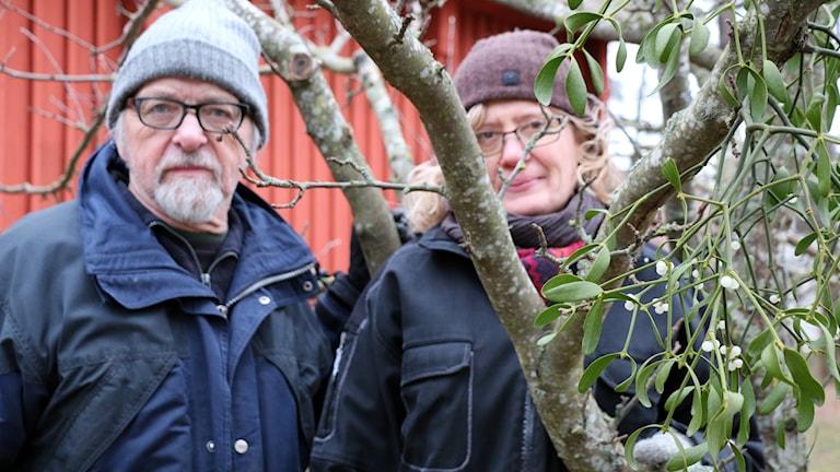 Hans Rydberg, botanist, inventerar nu alla mistlar i Västerås. Och Maria Löfgren, museiträdgårdsmästare på Vallby, brinner för landskapsväxten. Foto: Lena Näslund.