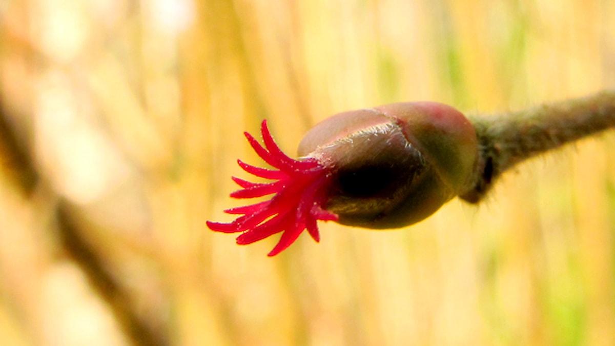 Knoppar kan bjuda på överraskningar - till exempel hasselns diskreta honblomma. Foto: Erik Kohlström