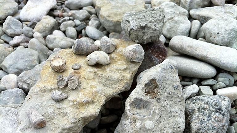 Fossil och klapperstenar på stranden vid Lickershamn. Foto Lisa Henkow / Sveriges Radio.