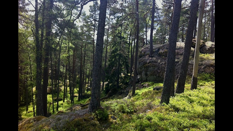 Delar av Tiveden är luckig tallskog.