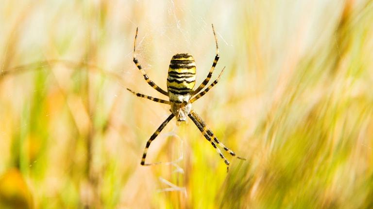 En stor och vackert gul- svart- och vitrandig spindel. Getingspindel, Argiope bruennichi