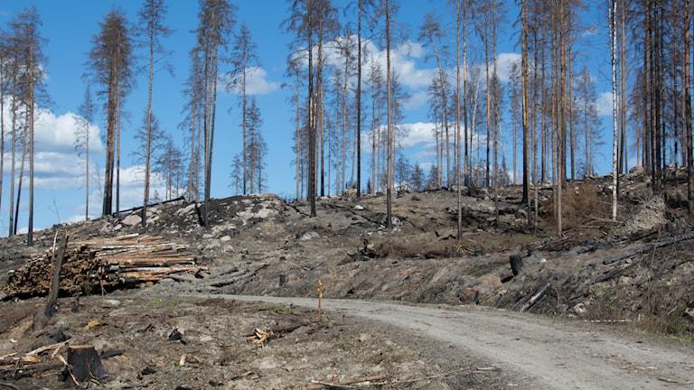 Skogsbilväg genom bränd skog.
