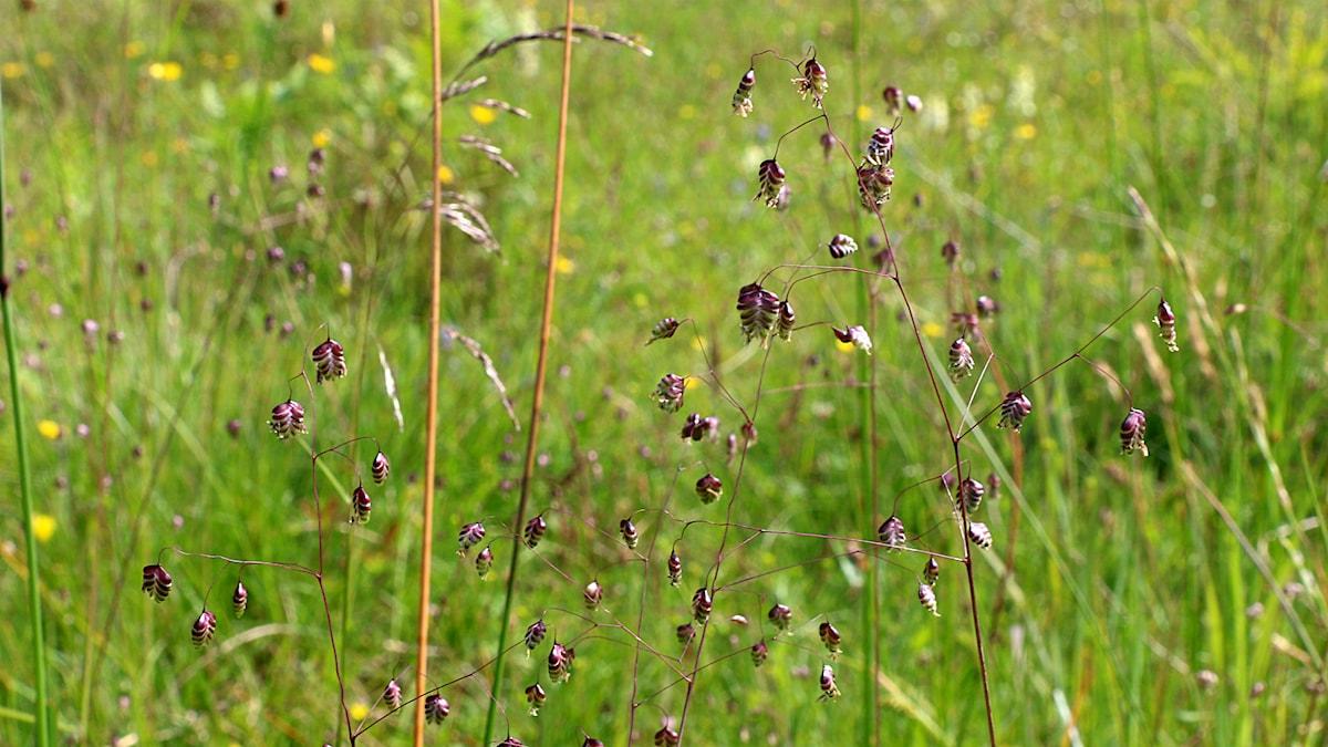 Darrgräs. Foto: Lena Näslund