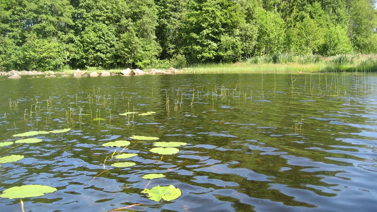 Näckrosblad och notblomster i sjön Fiolen. Foto  Lisa Henkow / Sveriges Radio.