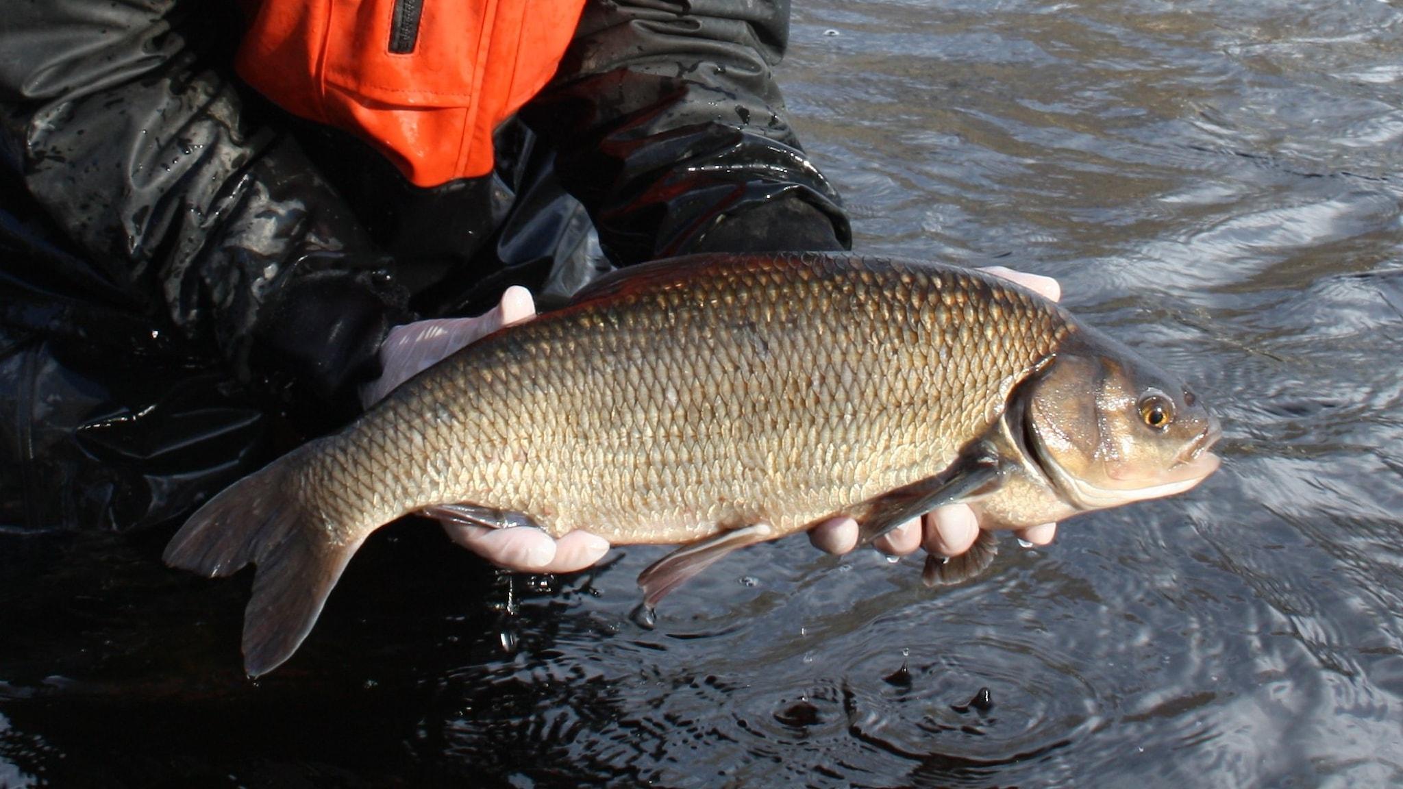 Två händer håller en halvmeterstor guldskimrande fisk över strömmande mörkt vatten.