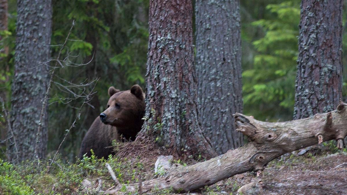 En björn i skogen i Gästrikland. Foto: Therese Forsberg