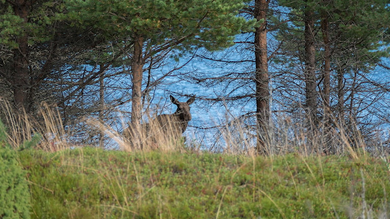 Älgarna på Haparanda Sandskär har blivit fler och fler - och är inte rädda för människor. Foto: Thomas Öberg.