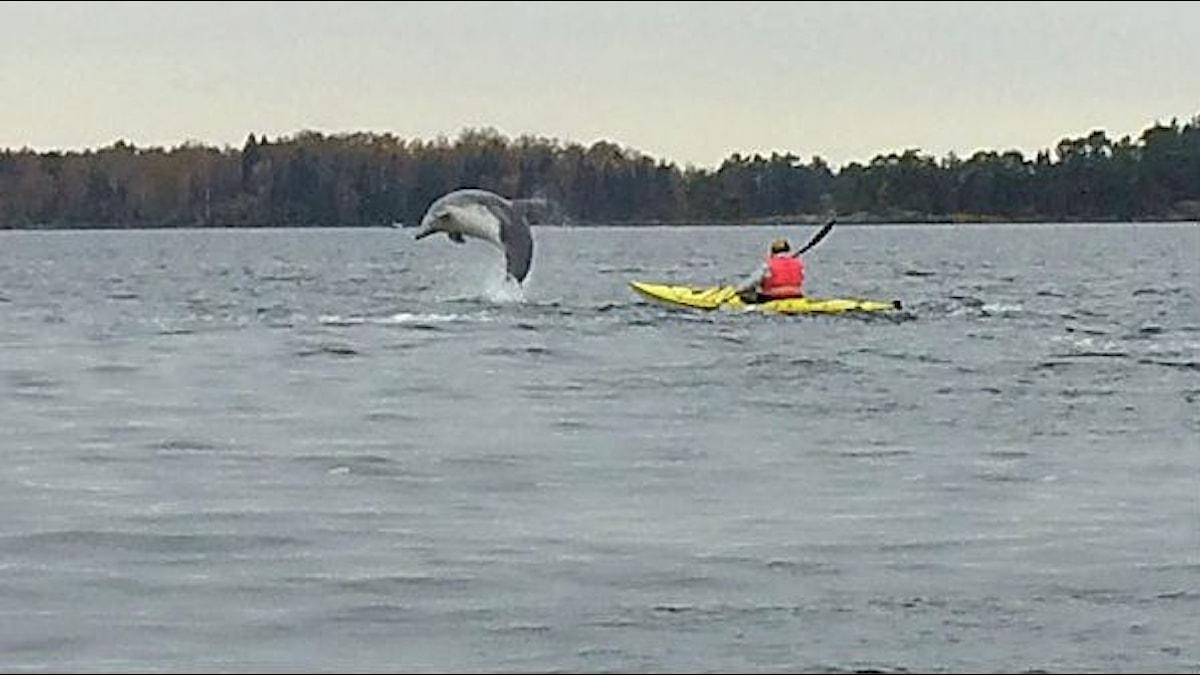 Öresvinet, flasknosdelfinen hoppar framför kajaken. Foto Lisa Henkow /Sveriges Radio.