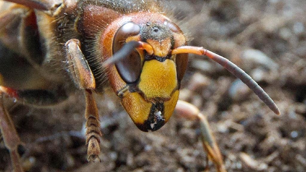 Närbild av en bålgeting, Vespa crabro.