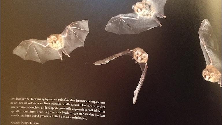 En sida ur boken fladdermöss - en värld av ekon. Foto Lisa Henkow / Sveriges Radio.