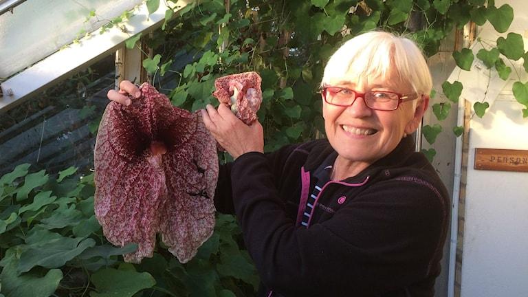 Marie Widén visar jättepiprankans blomma. Foto Lisa Henkow/Sveriges Radio.