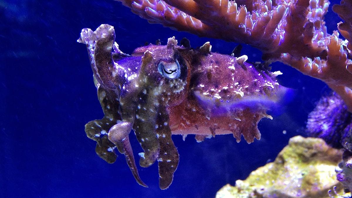 Dvärgbläckfisken Sepia bandensis är en mästare på att byta färg och på så sätt kamouflera sig. Foto: Sjöfartsmuseet Akvariet.
