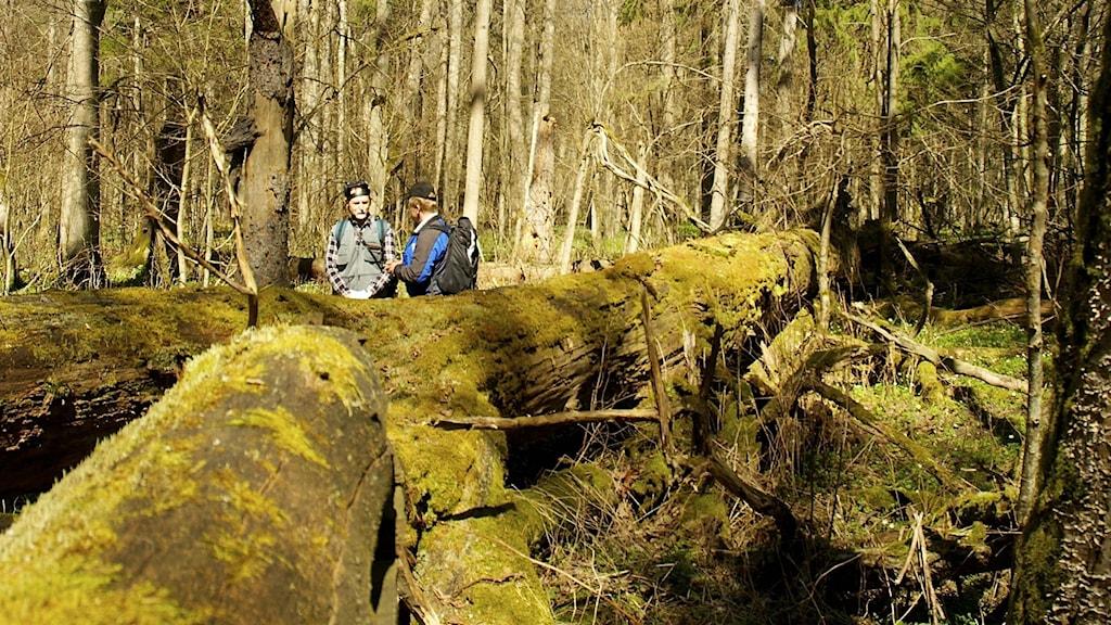 Rikligt med död ved och grova gamla träd är grunden för naturvärdena i Bialowiezaskogen.