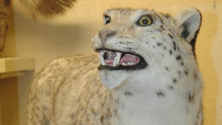 En uppstoppad snöleopard som visar tänderna.