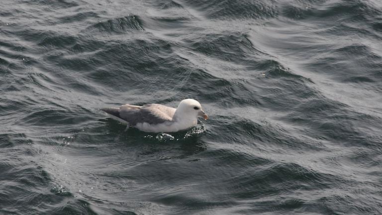 En stormfågel ligger på havsytan.