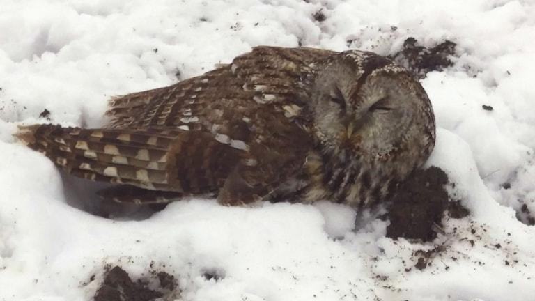 Den skadade kattugglan hittades på en åker och en örn skuttade nyfiket omkring den. Nu är ugglan på rehabilitering.