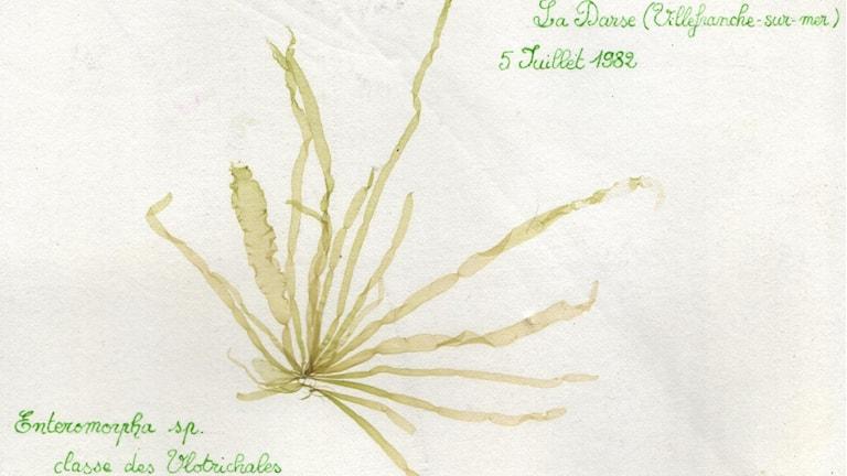 I ett franskt herbarium från 1982: Algsläktet Enteromorpha, som numera heter Ulva.