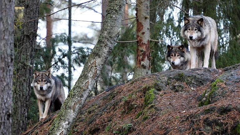 Tre vargar står på en sten i en barrskog.