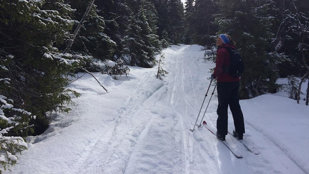 Fjällnära gammal skog i det som kan bli Sveriges största nationalpark - Vålådalen-Sylarna-Helags.
