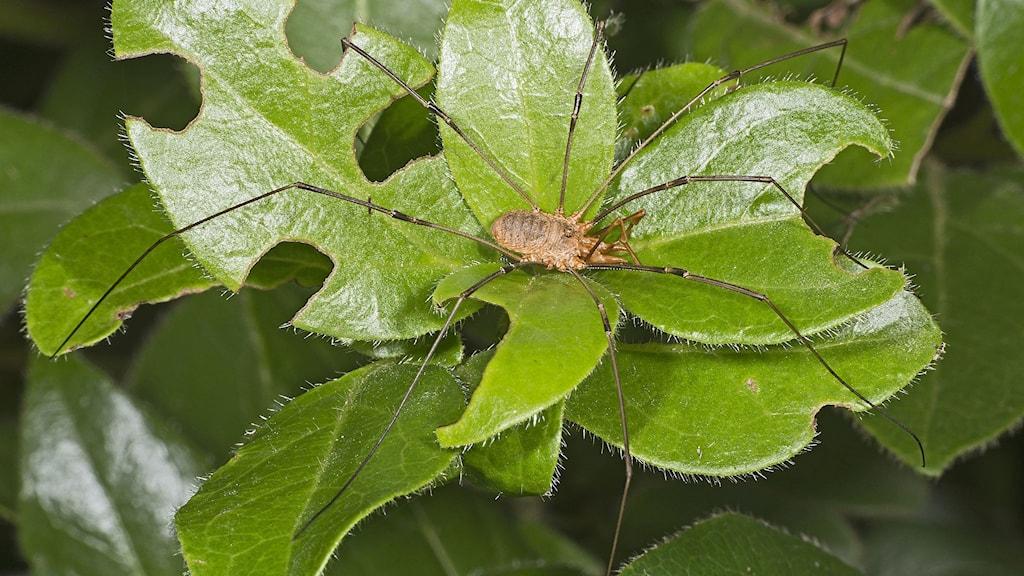 En lockespindel syns på ett blad med sina långa och smala ben