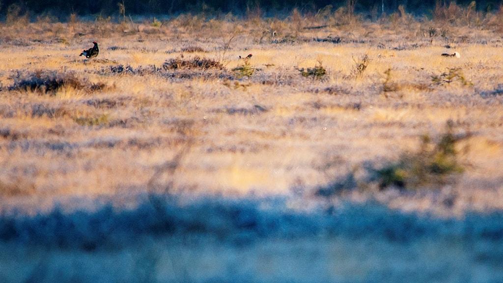 Tre orrtuppar med svarta fjäderdräkter och en röd kam vid ögat sitter på en frostbeklädd myr. Ett orrspel pågår
