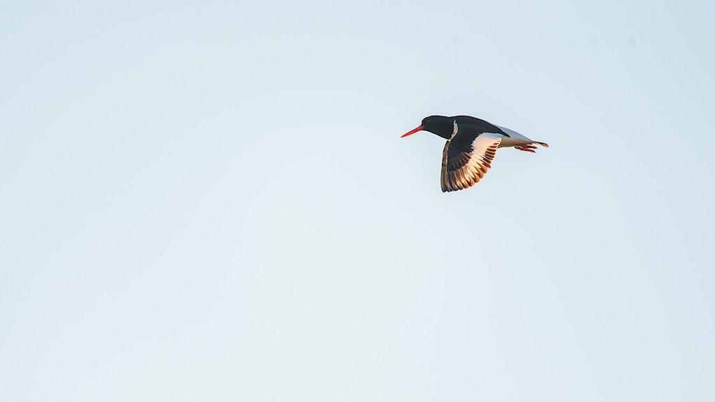 En strandskata med röd näbb, svarta vingar och ett vitt vingband flyger mot en blå himmel.