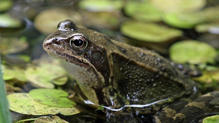 En hanne av vanlig groda syns på bilden.