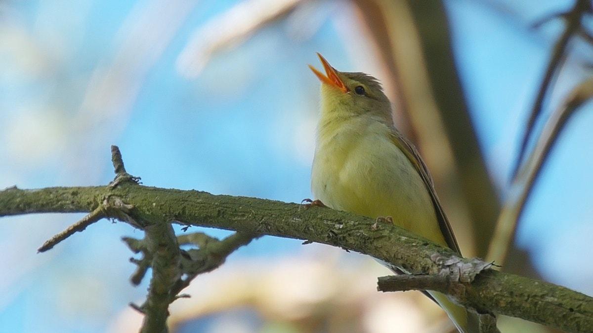 Härmsångaren är en av de fåglar som lånar strofer från andra fåglar.
