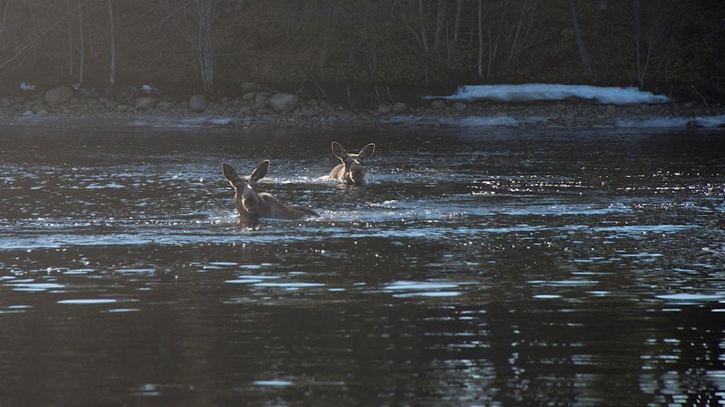 Simmande älg i Ångermanälven.